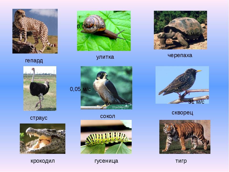 черепаха улитка гепард сокол страус скворец тигр гусеница крокодил 0,0014 м/с...