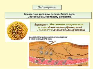 Лейкоциты Бесцветные кровяные тельца. Имеют ядро. Способны к амебоидному движ