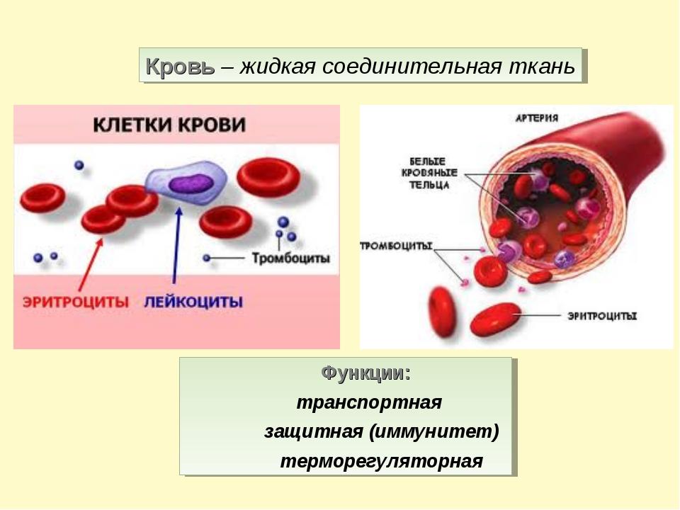 Кровь – жидкая соединительная ткань Функции: транспортная защитная (иммунитет...