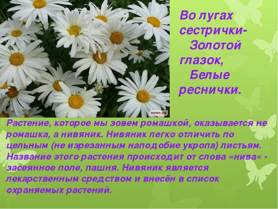 Во лугах сестрички- Золотой глазок, Белые реснички. Растение, которое мы зове...