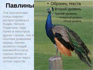 Павлины Эти экзотические птицы широко распространены в Индии, Непале, Пакиста