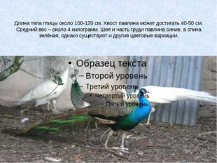 Длина тела птицы около 100-120 см. Хвост павлина может достигать 40-50 см. С