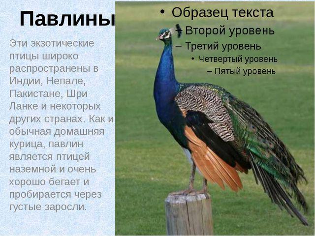 Павлины Эти экзотические птицы широко распространены в Индии, Непале, Пакиста...