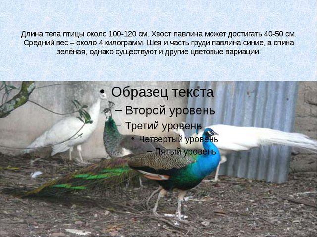 Длина тела птицы около 100-120 см. Хвост павлина может достигать 40-50 см. С...