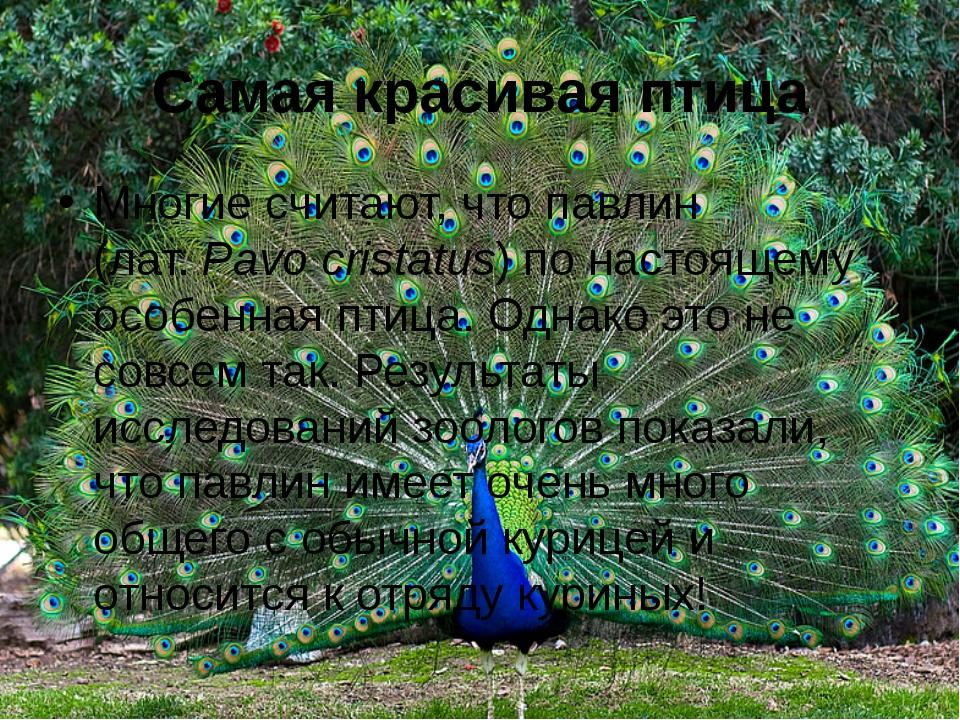 Самая красивая птица Многие считают, что павлин (лат.Pavo cristatus) по наст...
