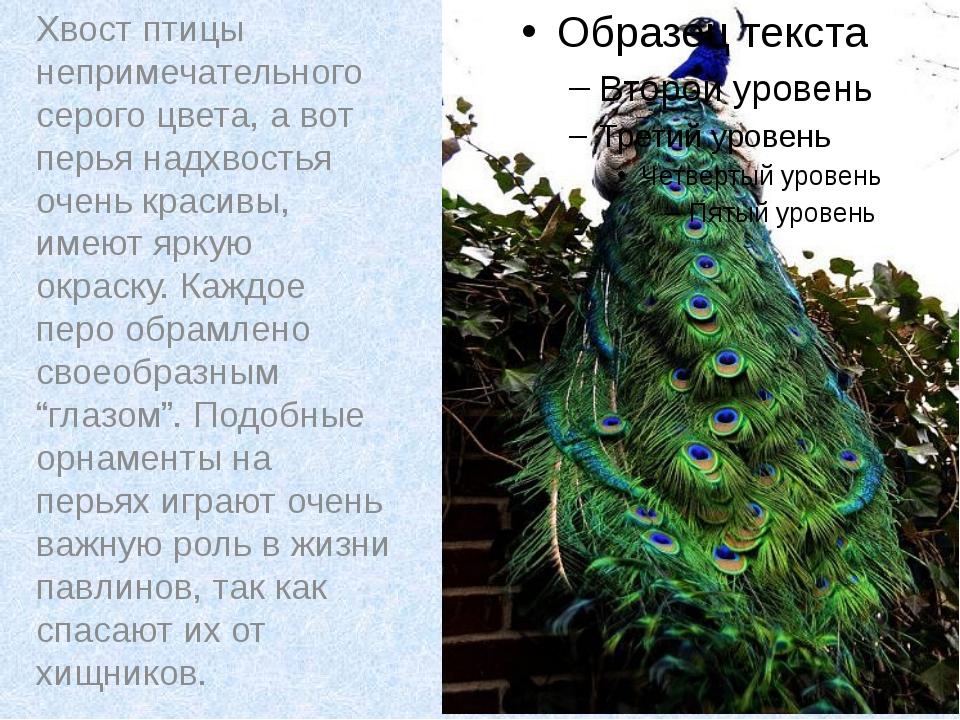 Хвост птицы непримечательного серого цвета, а вот перья надхвостья очень кра...