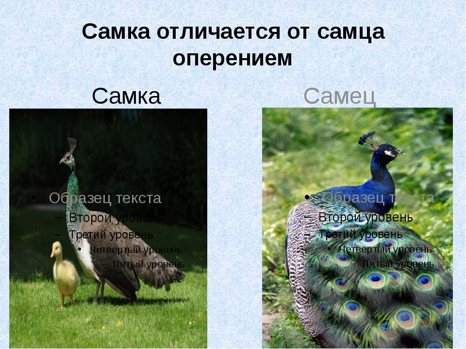 Самка отличается от самца оперением Самка Самец