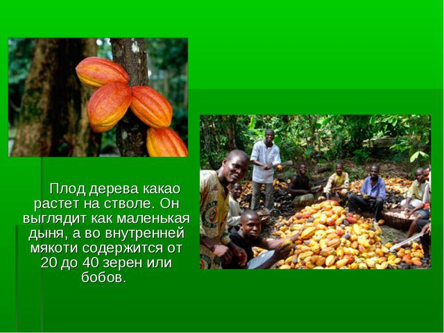 Плод дерева какао растет на стволе. Он выглядит как маленькая дыня, а во вну...