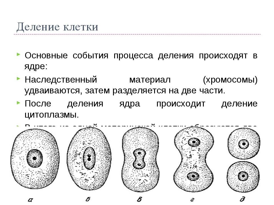Деление клетки Основные события процесса деления происходят в ядре: Наследств...