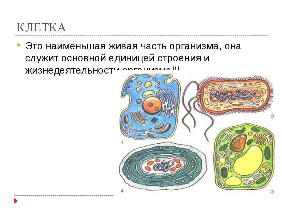 КЛЕТКА Это наименьшая живая часть организма, она служит основной единицей стр...