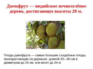 Джекфрут — индийское вечнозелёное дерево, достигающее высоты 20 м. Плоды джек