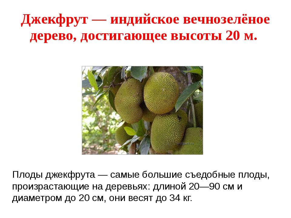 Джекфрут — индийское вечнозелёное дерево, достигающее высоты 20 м. Плоды джек...