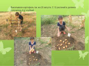 Выкапывали картофель так же 20 августа. С 12 растений в делянке получилось 9
