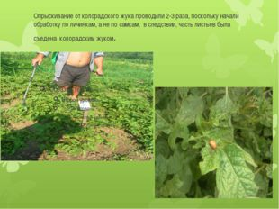Опрыскивание от колорадского жука проводили 2-3 раза, поскольку начали обрабо
