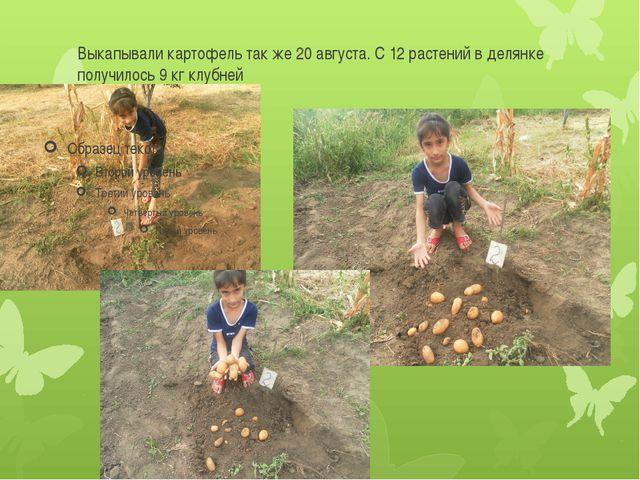 Выкапывали картофель так же 20 августа. С 12 растений в делянке получилось 9...