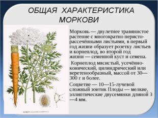 ОБЩАЯ ХАРАКТЕРИСТИКА МОРКОВИ Морковь— двулетнее травянистое растение с мног