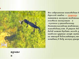 Все современные земноводные во взрослой стадии—хищники, питаются мелкими жи