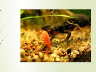 В водной фазе жизни обыкновенный тритон питается мелкими ракообразными, личин