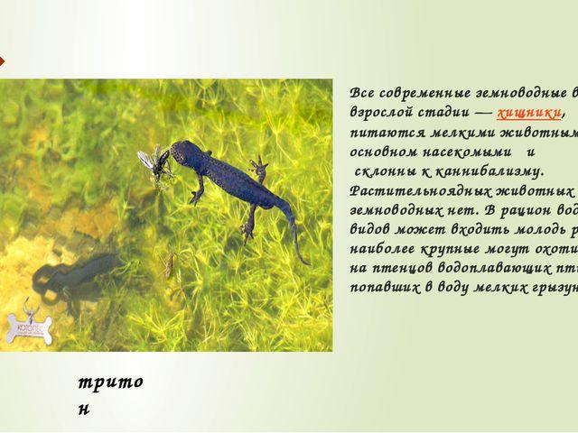 Все современные земноводные во взрослой стадии—хищники, питаются мелкими жи...
