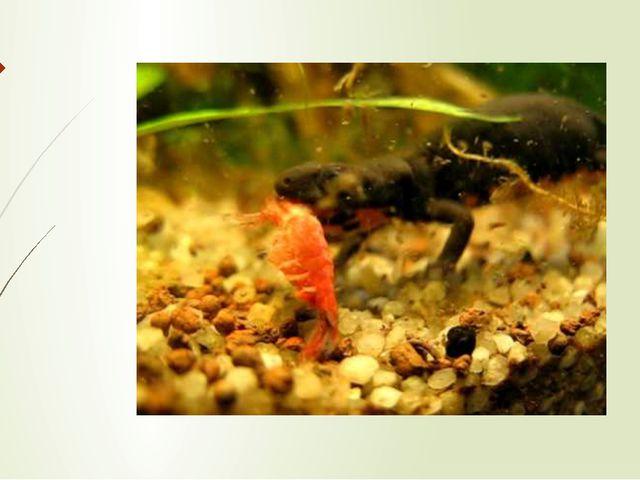 В водной фазе жизни обыкновенный тритон питается мелкими ракообразными, личин...