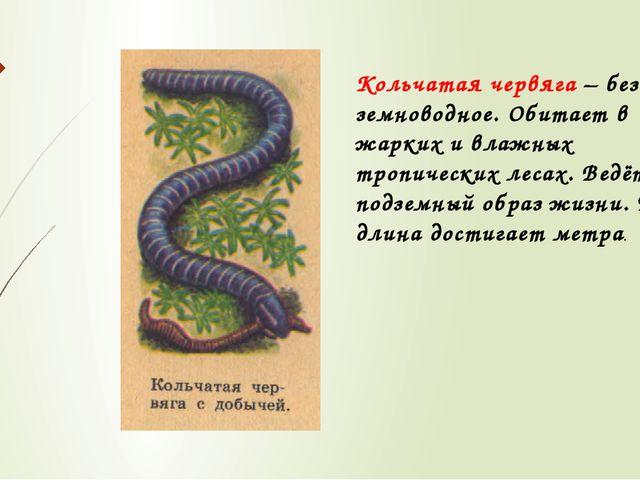 Кольчатая червяга – безногое земноводное. Обитает в жарких и влажных тропичес...