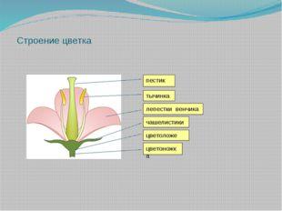 Строение цветка пестик тычинка лепестки венчика чашелистики цветоложе цветон