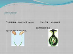 Органы размножения цветковых растений Тычинка –мужской орган Пестик – женски