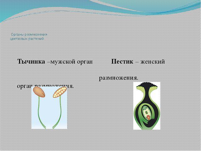 Органы размножения цветковых растений Тычинка –мужской орган Пестик – женски...