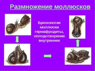Размножение моллюсков Брюхоногие моллюски гермафродиты, оплодотворение внутре