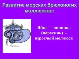 Развитие морских брюхоногих моллюсков: Яйцо - личинка (парусник) - взрослый м