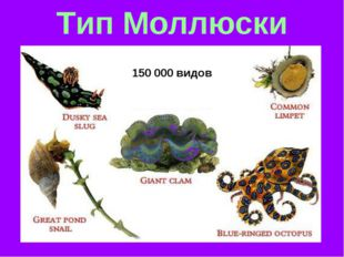Тип Моллюски 150 000 видов