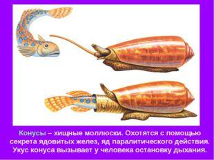 Конусы – хищные моллюски. Охотятся с помощью секрета ядовитых желез, яд парал