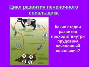 Цикл развития печеночного сосальщика Какие стадии развития проходит внутри пр