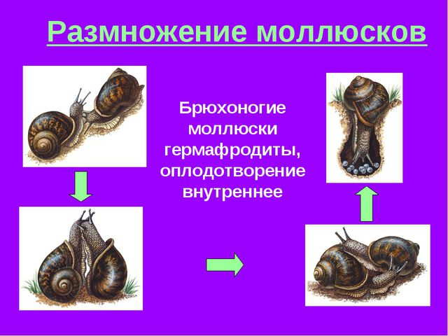 Размножение моллюсков Брюхоногие моллюски гермафродиты, оплодотворение внутре...