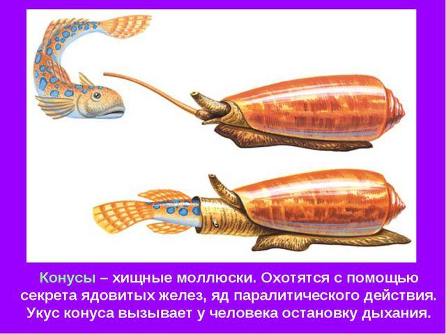Конусы – хищные моллюски. Охотятся с помощью секрета ядовитых желез, яд парал...