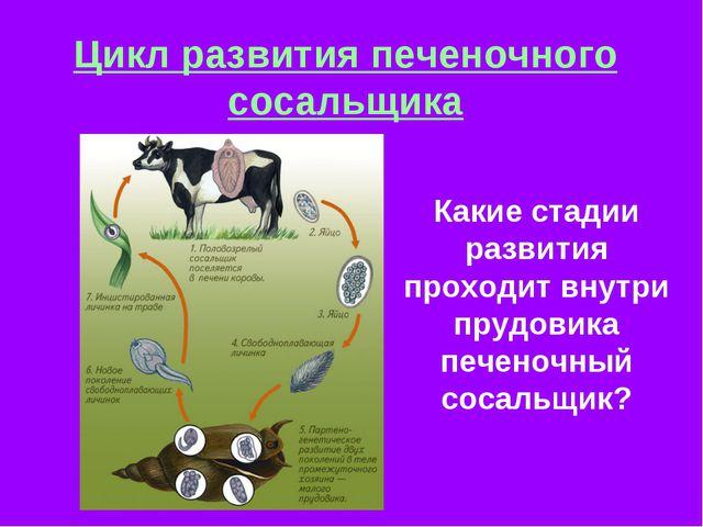 Цикл развития печеночного сосальщика Какие стадии развития проходит внутри пр...