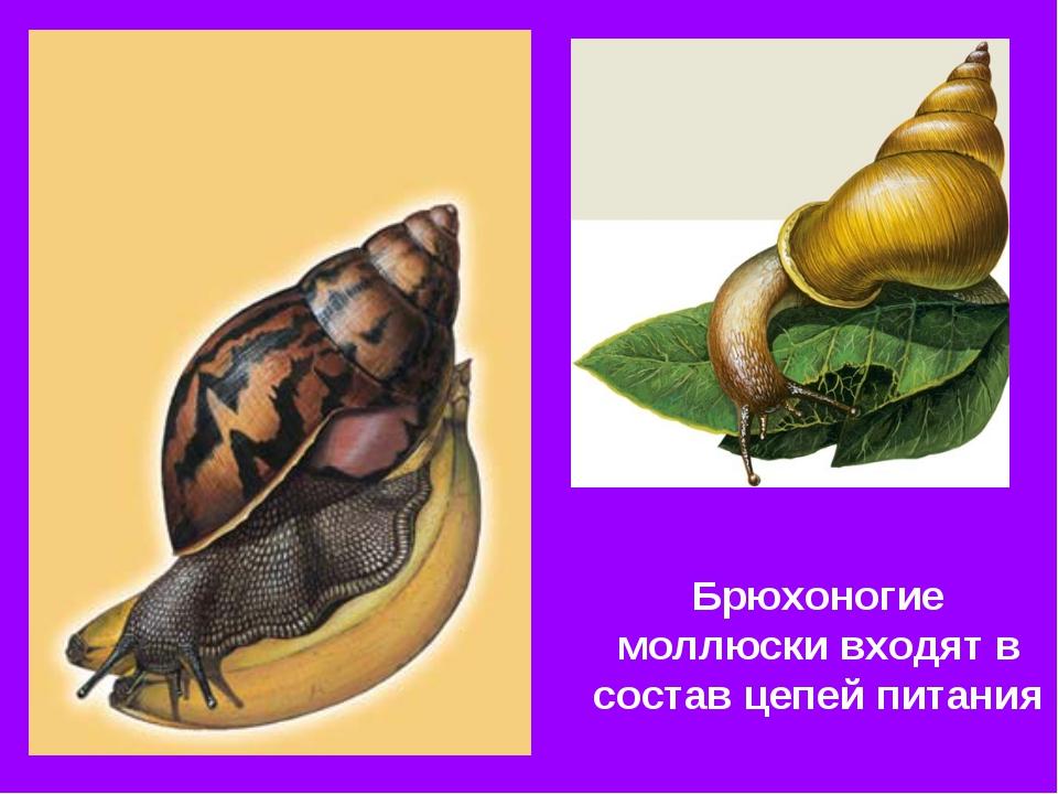 Брюхоногие моллюски входят в состав цепей питания