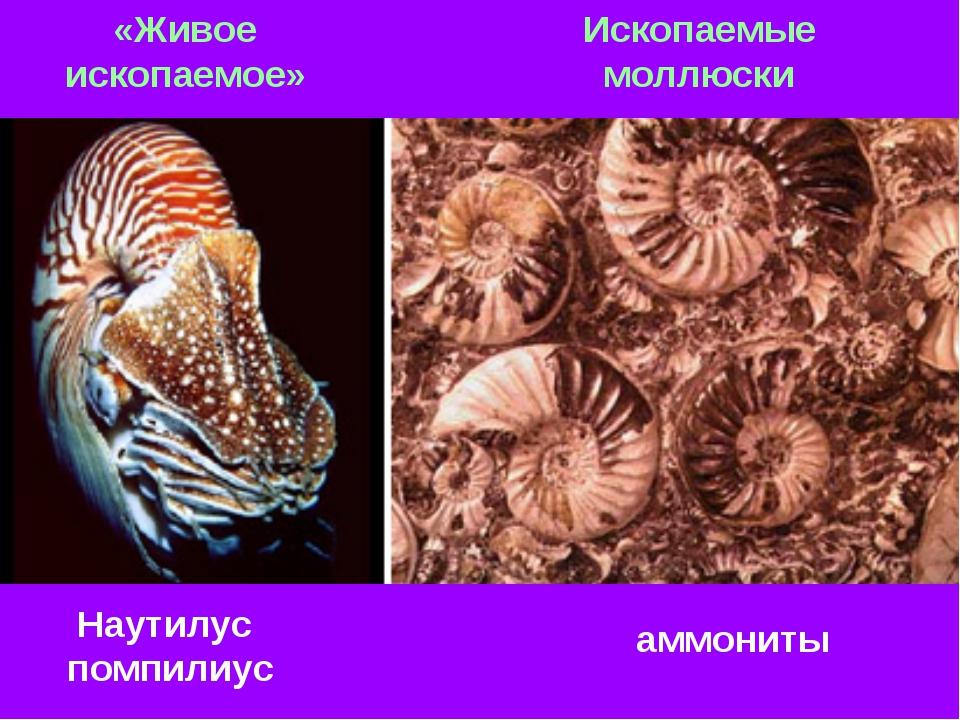 Наутилус помпилиус аммониты «Живое ископаемое» Ископаемые моллюски