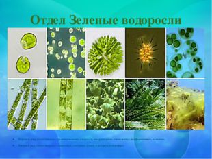 Отдел Зеленые водоросли Верхний ряд, слева направо: хламидомонада, хлорелла,