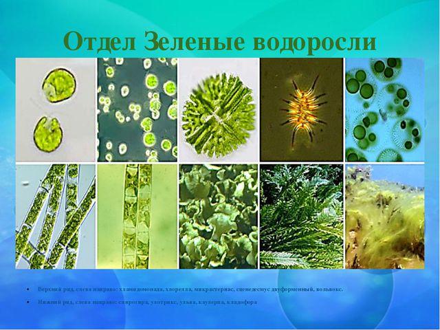 Отдел Зеленые водоросли Верхний ряд, слева направо: хламидомонада, хлорелла,...