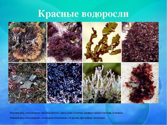 Красные водоросли Верхний ряд, слева направо: ирландский мох, эндокладия колю...