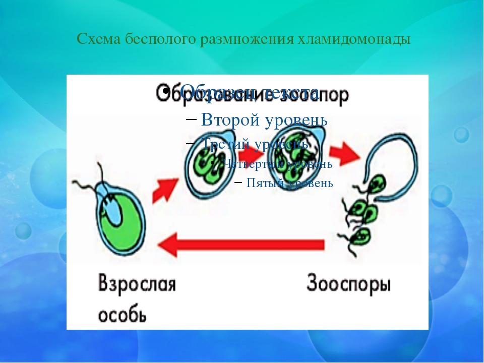 Схема бесполого размножения хламидомонады