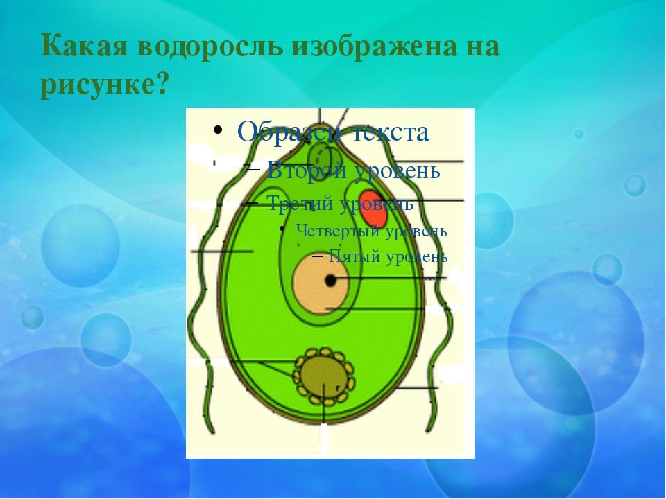 Какая водоросль изображена на рисунке?