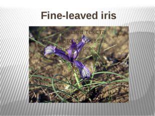 Fine-leaved iris