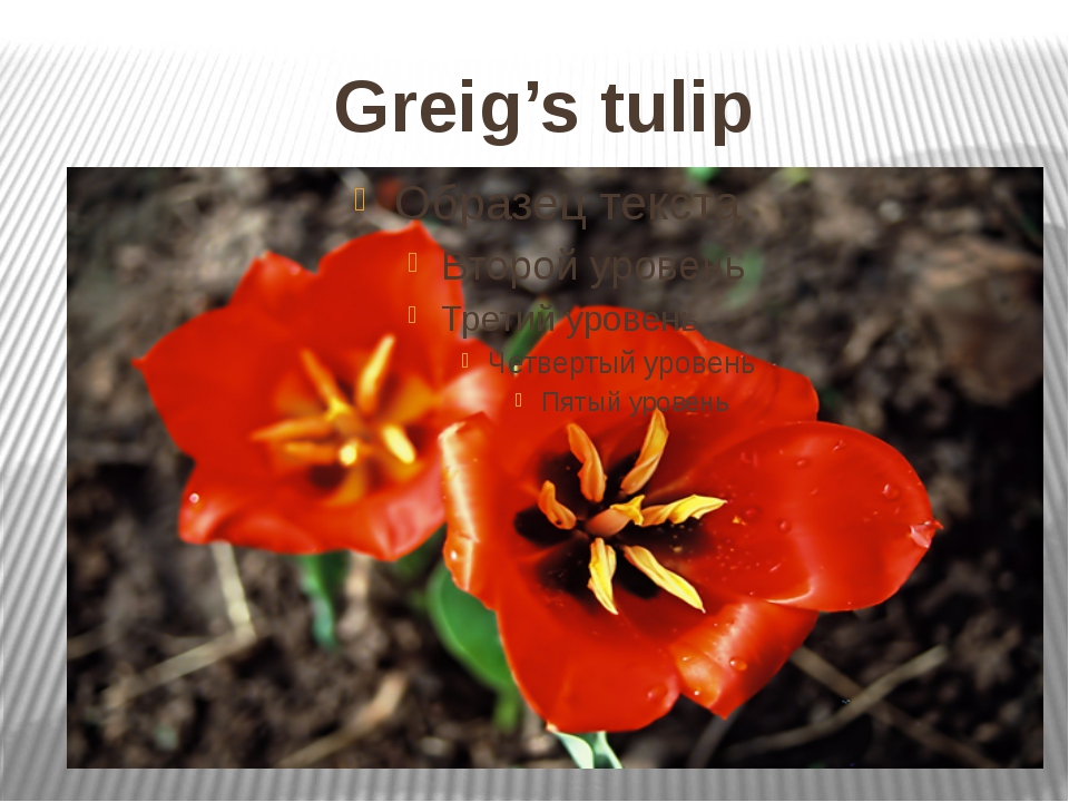 Greig's tulip