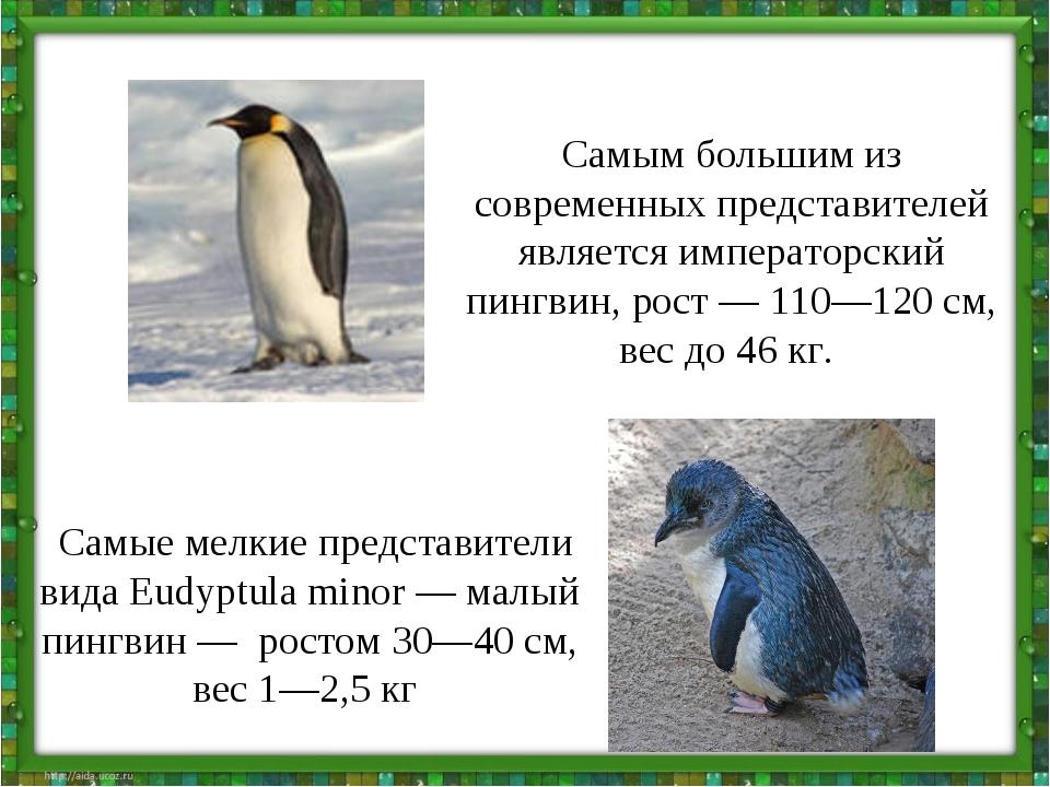 Самым большим из современных представителей является императорский пингвин, р...
