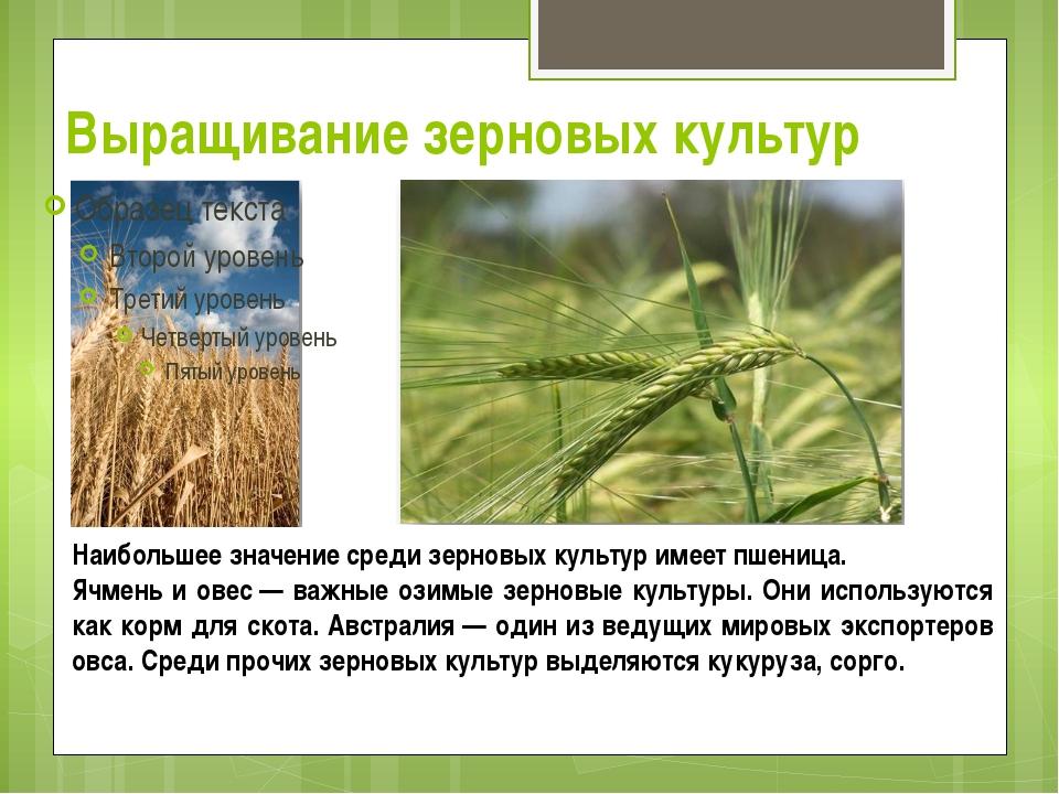 Выращивание зерновых культур Наибольшее значение среди зерновых культур имеет...