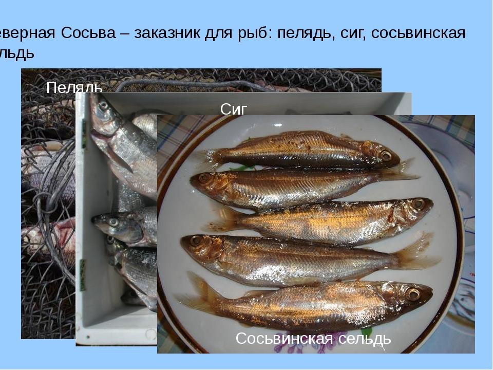 Северная Сосьва – заказник для рыб: пелядь, сиг, сосьвинская сельдь Пелядь Си...