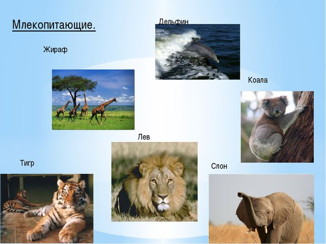 Млекопитающие. Жираф Дельфин Коала Слон Лев Тигр