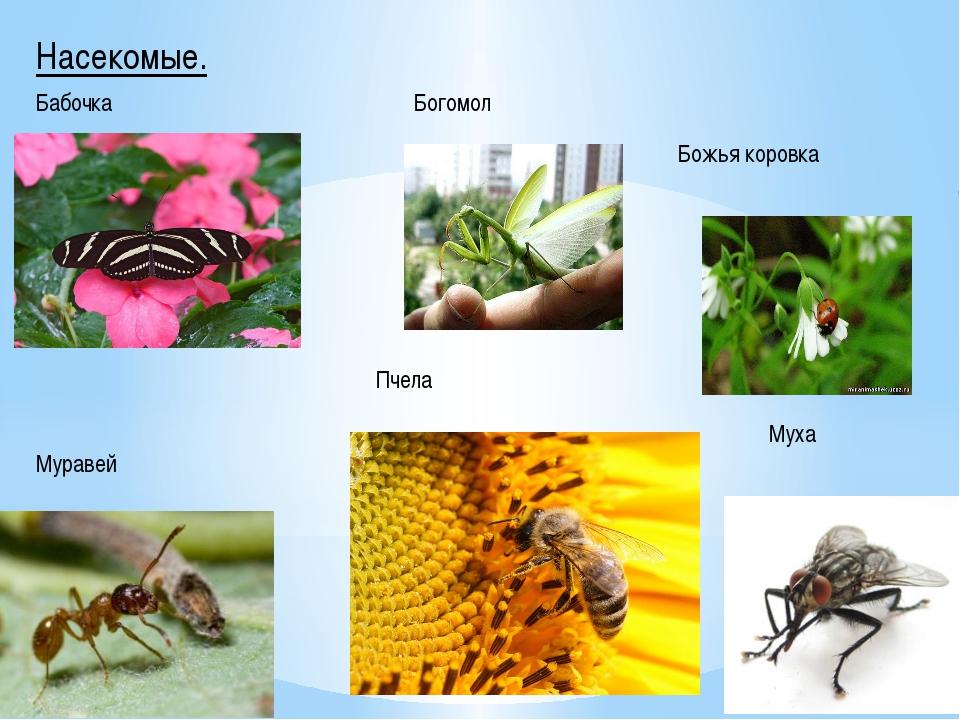 Насекомые. Бабочка Богомол Божья коровка Муравей Пчела Муха